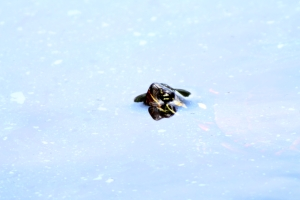painted turtle 1