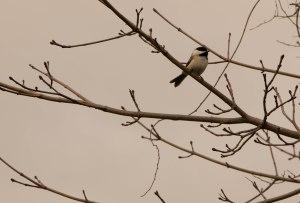 Black hooded chickadee