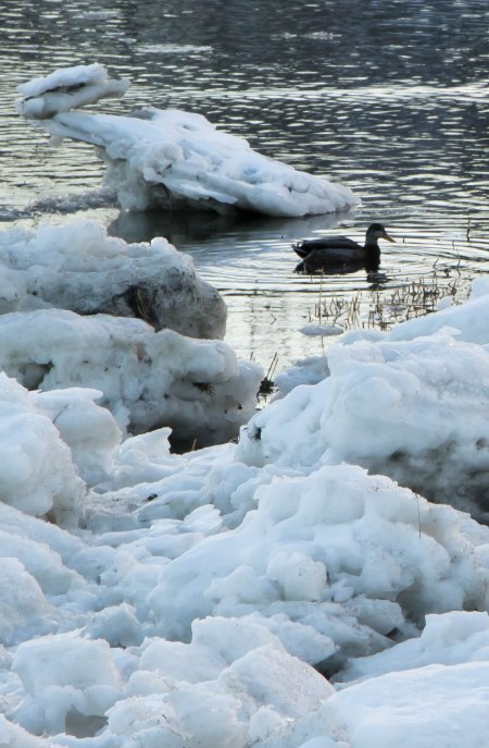 duck-in-ice