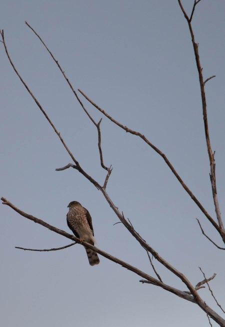 resting-hawk