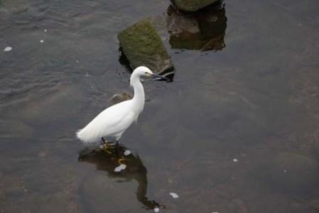 Majestic Snowy Egret