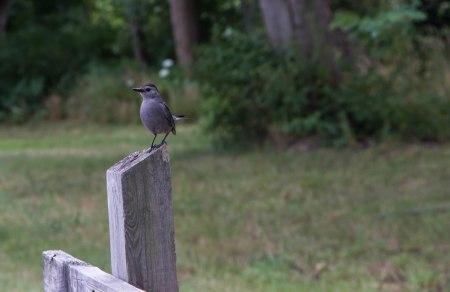 Posing Catbird