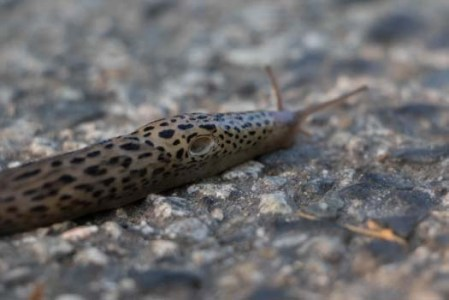 Leopard Slug pneumostome