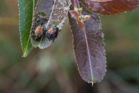 Japanese Beetles 1