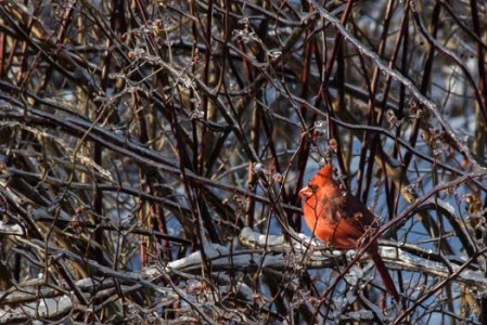 Cardinal on Icy Branches