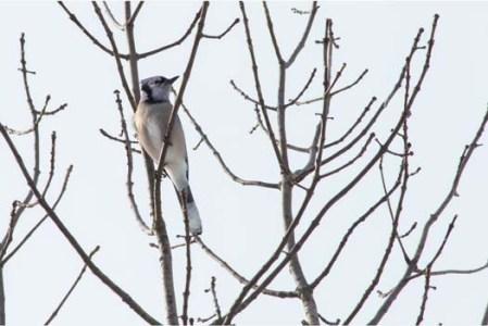 Northern Blue Jay