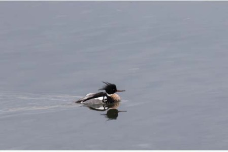 Red Breasted Merganser 1