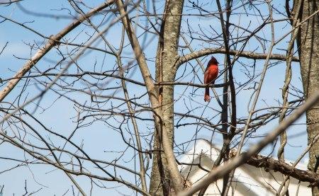 Cardinal 99